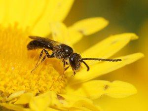 Homalictus sphecodoides (Reiner Richter - BowerBird)