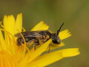 Lasioglossum brunnesetum (Reiner Richter - BowerBird)