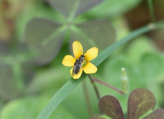 Nat_bee_mating on oxalis_DSC_6241